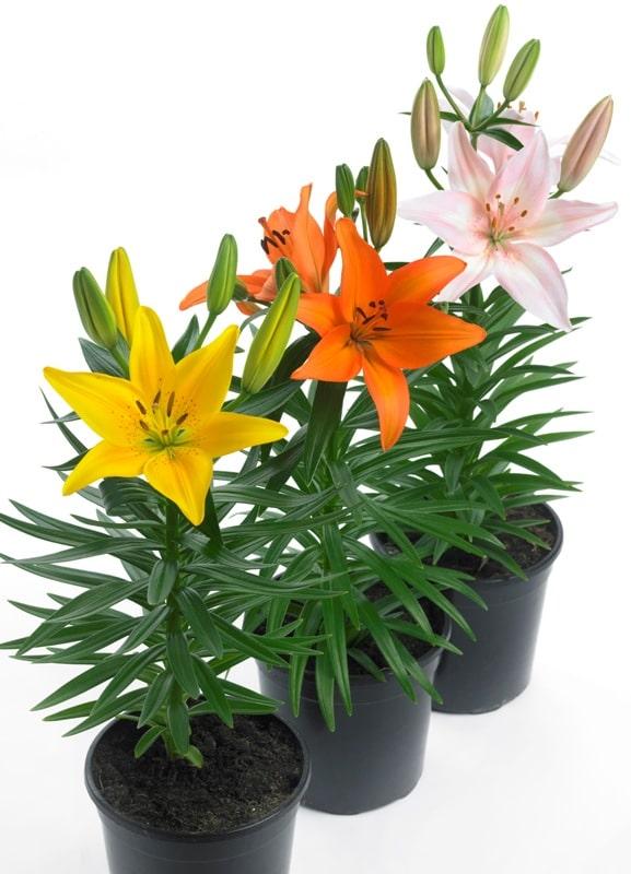 lemonbe-Decora tu jardin con flores que resisten el calor y la lluvia-04