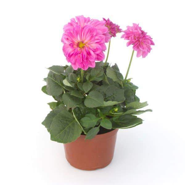 lemonbe-Decora tu jardin con flores que resisten el calor y la lluvia-05